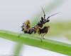 L3 Psuedocreobotra wahlbergii (stevekpriest) Tags: psuedocreobotra wahlbergii invertebrate praying mantis mantid animal