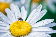 flower & fly (avflinsch) Tags: ifttt 500px lily flower floral fly insect petal violet daisy pollen blooming head part