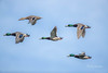 In Formation (Rick Derevan) Tags: california duck ducks mallard mallards flight flying flock sky wings birds bird anasplatyrhynchos