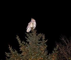 Owl at night! (Valery_RW) Tags: owl night winnipeg manitoba canada