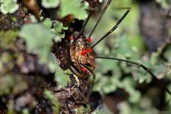 Phalangium opilio (Linnaeus, 1758) (Jesús Tizón Taracido) Tags: chelicerata arachnida dromopoda opiliones palpatores phalangioidea phalangiidae phalangiumopilio