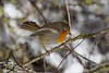 Robin (Ian Garfield - thanks for almost 2 million views!) Tags: cannock chase chasewater robin snow december nature ian garfield photography canon