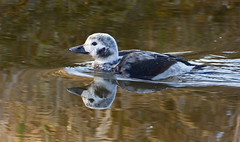 On Brassy Ditch (ebirdman) Tags: longtailedduck longtailed duck clangulahyemalis clangula hyemalis juvenile male