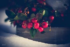 i'm dreaming of a red christmas (babs van beieren) Tags: garden winter berries red snow ice redberry almostchristmas mywintergarden 7dwf wednesdaycloseupormacro closeup macro