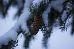 pinecone (katepurchase1) Tags: pinecone winter snow snowfall tree nature canon 50mm
