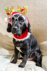 Festive Fun ? (Jez22) Tags: scooby dog canine black working cocker spaniel doggy fur sitting color pedigree animal mutt cute pooch perro hond hund madra festive fun glasses copyright jeremysage