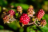 Let's Make Jam (Half A Century Of Photography) Tags: berries red jam harvest scotland