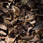 Fallen leaves (彼は枯れ葉になったのです)