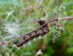 Polygonia c-album larva (rockwolf) Tags: polygoniacalbum comma caterpillar lepidoptera larva insect chenille shropshire rockwolf