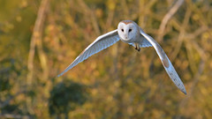 Silence Is Golden (KHR Images) Tags: barnowl barn owl tytoalba wild bird birdofprey hunting flying sunshine goldenhour cambridgeshire fens eastanglia wildlife nature nikon d500 kevinrobson khrimages
