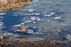 Chevalier gambette (CCphoto12) Tags: bassindarcachon chevaliergambette leteich oiseau