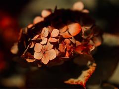 Récolte nocturne (CaroDiario) Tags: rue street photoderue streetphotography automne autumn fall nuit night photodenuit nightphotography fleurs flowers shallowdepthoffield courteprofondeurdechamp ombresetlumière shadowsandlight lumièreambiante ambientlight panasonicdcgh5 leicadgnocticron425mmf12 jardin garden