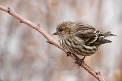 Pine Siskin (jlcummins - Washington State) Tags: pinesiskin bird wildlife fauna washingtonstate yakimacounty