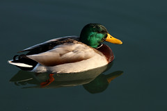 Colvert_Anas platyrhynchos (nicéphor) Tags: nature faune colvert canard oiseaux bird canon eos7d tamron150600 wildlife