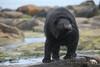 Give Your Head a Shake (PamsWildImages) Tags: blackbear nature naturephotographer wildlife wildlifephotographer canada canon 5dmarkiii pamswildimages pammullins shake