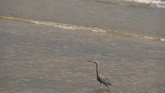 DSC04919 (Matthew283) Tags: bolvar wildlife 11182017 reddish egret