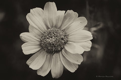 (Monica Muzzioli) Tags: macro monochrome bw sepia bn blackandwhite flower monochromatic fvf sundaylights