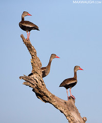 Black-Bellied Whistling Ducks (Max Waugh Photography) Tags: blackbelliedwhistlingduck dendrocygnaautumnalis brazil pantanal southamerica animal avian bird brown nature wildlife ducks waterfowl three trio perch brazil17 maxwaugh