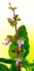Holy Basil Flowers (காவியம் Kaaviyam Photography) Tags: kaaviyamphotography kaaviyamart basil holybasil holybasilflowers tinybeauty sacredflowers tulsi thulasi mobileshot