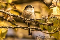 Mito ( Aegithalos caudatus) (Esmerejon) Tags: ejemplardemitoaegithaloscaudatus conunfondototalmenteotoñalrealizadaenlosalrededoresdesimancas eldía18112017 aves gregarias naturaleza fauna