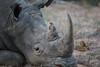 White Rhino (Mike/Claire) Tags: bird redbilledoxpecker whiterhino 2016 southafrica tandatula timbavati