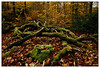 Naturbelassen (frodul) Tags: baum landschaft natur wald moos baumstamm herbst blattfärbung gelb grün jahreszeit blatt blätter egestorf niedersachsen deutschland tree mosscovered autumn nature