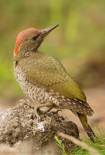 Pito real - Picus viridis - Peto verdeal - Green woodpecker