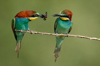 Merops apiaster a
