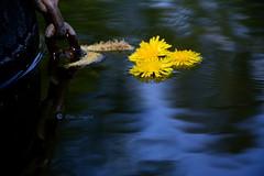Somewhere else .... (Elahe Dastgheib) Tags: elahedastgheib wildflower lake chain kedja dandelion maskros sweden sverige flyt float somewhere else