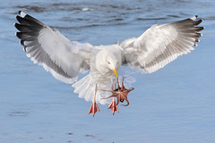 Octogull strikes again! (bmse) Tags: canon 7d2 400mm f56 l bmse salah baazizi wingsinmotion octogull octagull octopus bolsa chica fishing