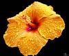 Yellow Hibiscus (Alejandro González i Mas) Tags: hibiscus floresyplantas flower