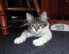 Twister (Lisa Zins) Tags: lisazins tn tennessee petsandanimals pets animals cat feline kitten kittens mainecoonmixkitten mainecoonmix maine coon mix face kittenface elijah