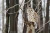 Chouette rayée - Barred owl (sandra bourgeois) Tags: passion canon oiseau bird wildlife faune nature hibou owl chouetterayée