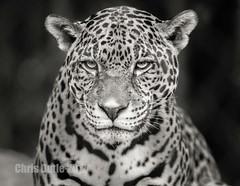 DSC06105 (montusurf) Tags: jaguar feline cat black white bw cameron park zoo waco texas face zoosofnorthamerica