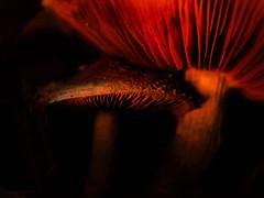 Mystical World Of Mushrooms (LupaImages) Tags: mushrooms light dusk leaves musky nature dark soft spongy