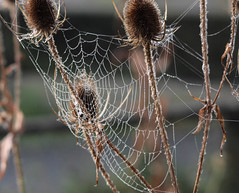 Autumnal Spider's Web (stepinsidecolinr) Tags: spider web conway northwales insects arachnids
