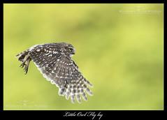 Little Owl Fly-by (deanmasonwp) Tags: nature wild wildlife photography bird birds raptor prey little owl fly flight evening owls dean mason windows dorset nikon image picture