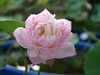 Sacred Lotus 'Fen Ling Long 13' Wahgarden Thailand 004 (Klong15 Waterlily) Tags: lotus thailandlotus flower lotusflower pond pondplant landscape nelumbonucifera