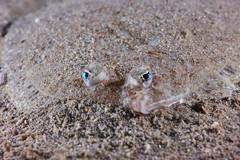 Lefteye Flounder (Gomen S) Tags: animal wildlife nature underwater ocean hongkong hk china asia tropical 2017 autumn sony sonyflickraward nauticam fish macro night