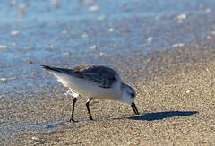 38C (otgpics) Tags: calidris alba sanderling digging food wet shorebird banded leg number longboat key florida gulf coast