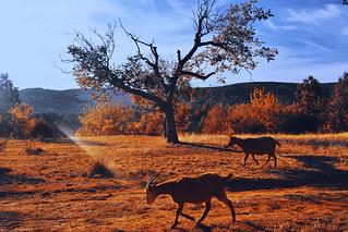Goats @autumn2017