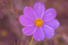 November Cosmo (A Great Capture) Tags: nature purple flower cosmo november agreatcapture agc wwwagreatcapturecom adjm ash2276 ashleylduffus ald mobilejay jamesmitchell toronto on ontario canada canadian photographer northamerica torontoexplore fall autumn automne herbst autunno 2017 cosmos