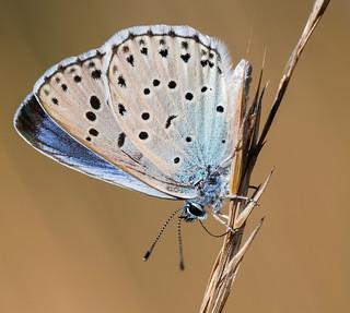 Maculinea arion ligurica