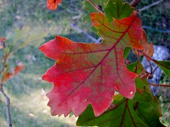 Red Leaf (Jane Olsen) Tags: autumn leaf outdoor tree branch