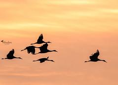 The Sandhill Cranes of Jasper Pulaski Co. (BHawk Photography) Tags: sandhillcranes silhoette sunset jasperpulaskico indiana migration fall nature sky bhawkinsphotography