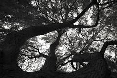 Bringuebalant (Atreides59) Tags: arbre tree arbres trees nord lille villeneuve ascq villeneuvedascq up nature ciel sky black white bw blackandwhite noir blanc nb noiretblanc pentax k30 k 30 pentaxart atreides atreides59 cedriclafrance