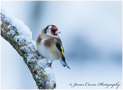 Goldfinch (Jim Crozier) Tags: goldfinch snow canoneos1dx canon300mmf28