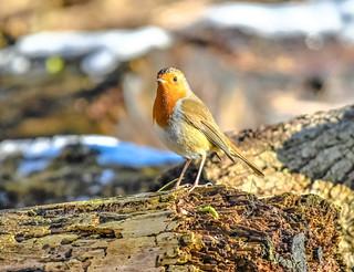 robin on a tree