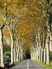 Avenue of planes, Chateau d'Arques (Niall Corbet) Tags: france occitanie languedoc roussillon aude arques avenue plane tree autumn