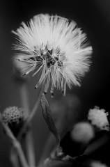 Day 138 - Pretty weeds (Tiggy Savage) Tags: weed weeds dandelion clockwork